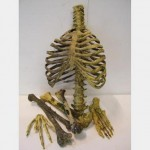 Assorted Plastic Resin Human Bones