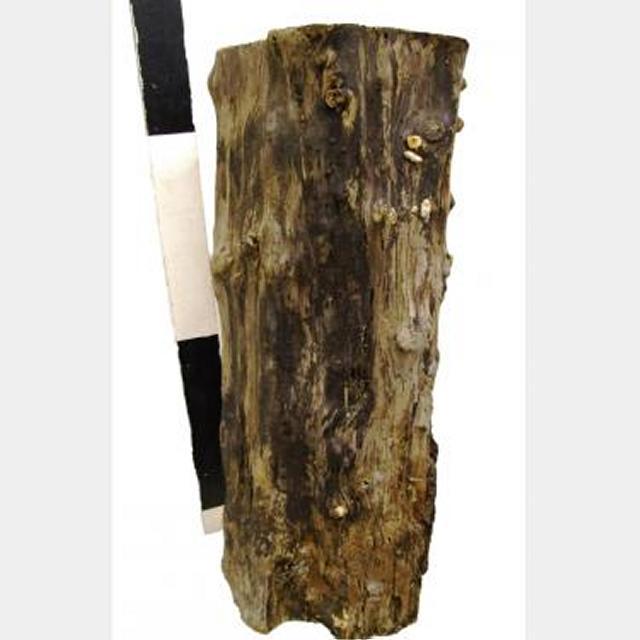 Tree Stump 770X280Dia